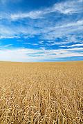 Wheat field<br /> near Piapot<br /> Saskatchewan<br /> Canada