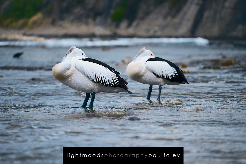 Pelicans resting on a rockshelf, South Coast, NSW, Australia