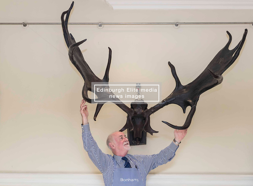 Danny McIlwraith of Bonhams with the Irish Elk antlers at the Bonhams Sporting Sale. Bonhams Sporting Sale will take place on 31 October at the Edinburgh auction rooms and will include a racing plate worn by the legendary racehorse Frankel (estimate £15,000 - £20,000), a large pair of Irish Elk antlers (estimate £15,000-20,000) and a cast of the British Record Salmon caught by Miss Ballantine in 1922 (estimate £3,000-5,000).