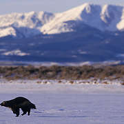 Wolverine running during winter in the Rocky Mountains. Captive Animal