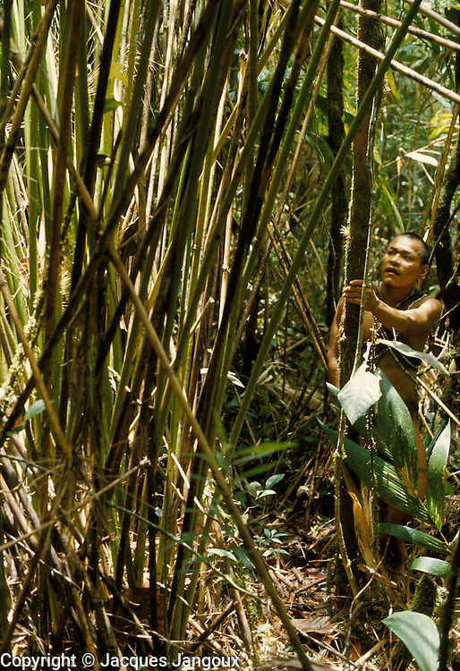 Use of forest products by Indians of Guiana Highlands of Venezuela: man in montane rainforest inspecting a stand of bamboos (Arthrostylidium schomburgkii) used to make blowguns. Altitude aroud 1650 m.