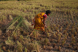 May 1, 2019 - Naogaon, Bangladesh - Parvin, A Santal woman collects grass from a paddy field for her pet animal in Dhamoirhat upazila of Naogaon district. (Credit Image: © MD Mehedi Hasan/ZUMA Wire)