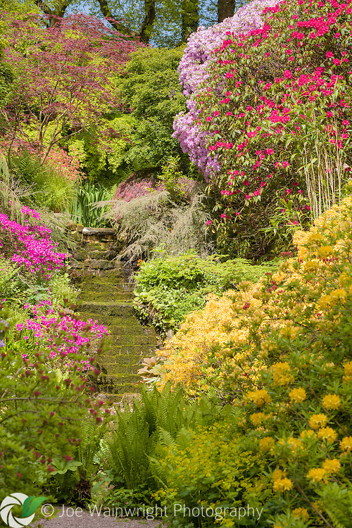 Colourful rhododendrons and azaleas create a brilliant display at Dorothy Clive Gardens, Staffordshire.