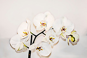 Digitally enhanced image of a White Phalaenopsis Orchid on white background