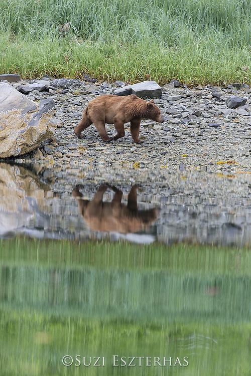 Brown Bear<br /> Ursus arctos <br /> Katmai National Park, AK