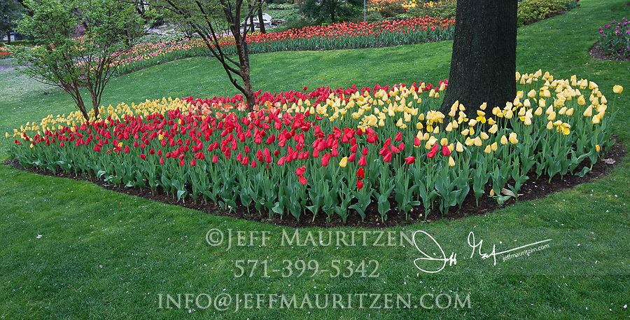 Colorful tulips in bloom in springtime.