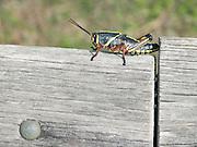 Lubber Grasshopper Brachystola magna Florida USA