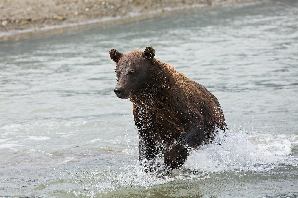 Brown bear (Ursus arctos) running in Horn Creek looking for spawning salmon on Glacier Spit in Chinitna Bay area of Lake Clark National Park in Southcentral Alaska. Summer. Afternoon.
