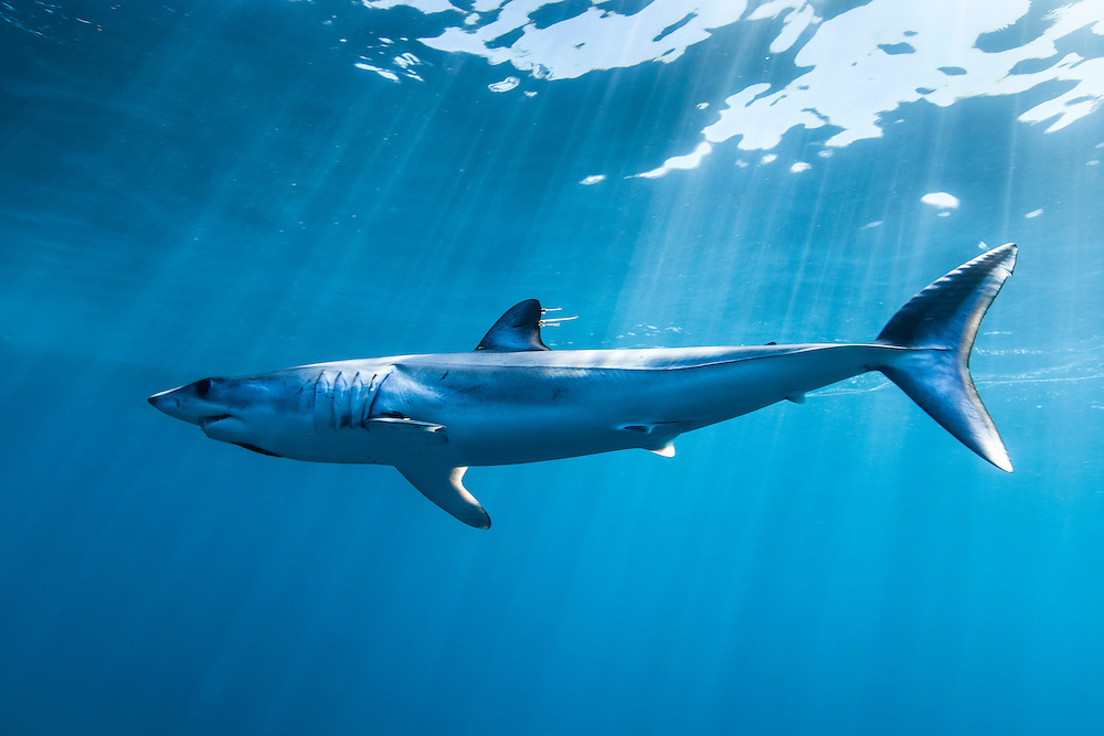 México, Baja California, Bahia Magdalena. Portrait of a mako shark swimming at open water some 10 miles off the coast.
