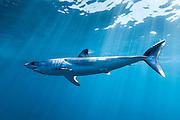 México, Baja California, Bahia Magdalena. Portrait of a mako shark swimming at open water some 10 miles off the coast.