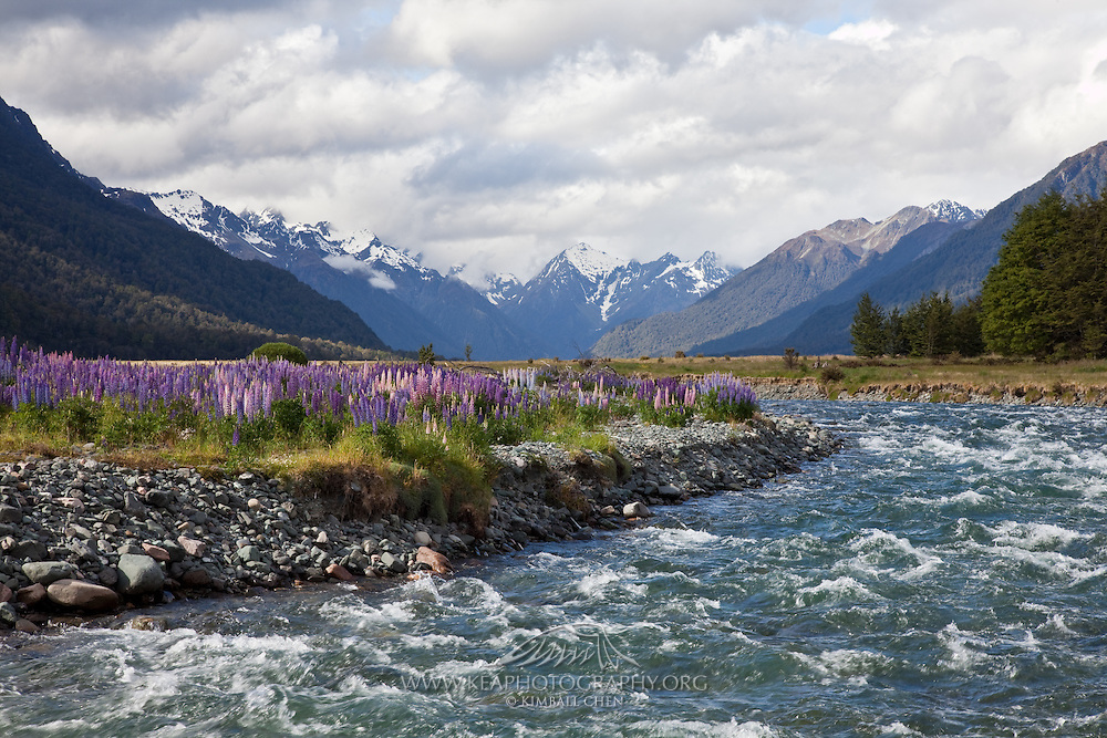In New Zealand, the lupin (aka Russell lupin, Lupinus polyphyllus) is an invasive species that threatens indigenous species, especially when it invades the braided river beds in the South Island.  They are widespread in early summer along roadsides in Cantebury, and along river beds in Fiordland.