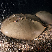 This is a pair of endangered tri-spine horseshoe crabs (Tachypleus tridentatus) preparing to spawn. The larger female in front has chosen a place to deposit eggs. She has just commenced digging. The bubbles are the result of pockets of air trapped in the mud and gravel being released due to the female's excavation. Spawning takes place in the intertidal zone, which is the reason that air is present in the sediment. The smaller male is firmly affixed to the female's opisthosoma. He will fertilize the eggs she deposits, and then the pair will move on to find another location to spawn again.<br />