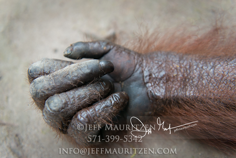Close up of a Bornean orangutan's hand in Indonesia.