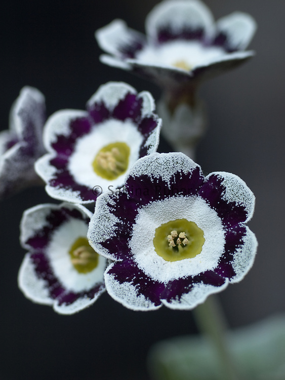 Primula auricula 'Boy Blue' - fancy show auricula