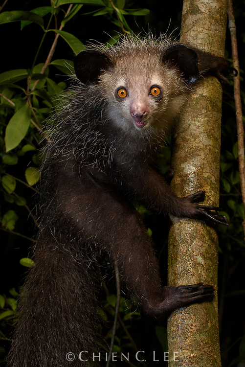 Feared by some, revered by others, the Aye-aye (Daubentonia madagascariensis) is surely one of Madagascar's most bizarre lemurs. Unique among primates, the Aye-aye's front incisors grow continuously like a rodent, leading to the early belief that they were some sort of gigantic nocturnal squirrel. Equally unusual are its long bony middle fingers which are used by the animal to tap tree trunks for the sound of insect grubs inside and then extract them like a fish hook. Unfortunately, Aye-ayes have become gravely endangered from habitat loss and persecution by people: they are often killed on sight due to the superstition that they are an omen of death. Canal des Pangalanes, Madagascar.