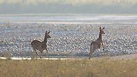 Two Swamp Deer (Rucervus duvaucelii) also know as Barasingha running in Bardia National Park, Nepal