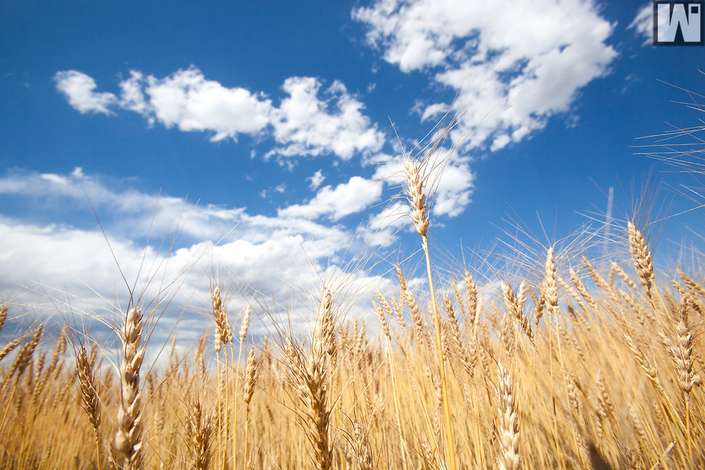 Wheat close to harvest in southeaster Wyoming.