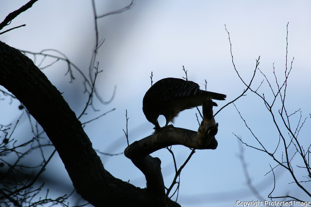Silhouette of Coopers Hawk, feeding on a squirrel at dusk in a tree.