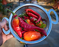 Hot Peppers grown on my Patio. Image taken with a Leica CL camera and 23 mm f/2 lens (ISO 100, 23 mm, f/3.2, 1/200 sec).