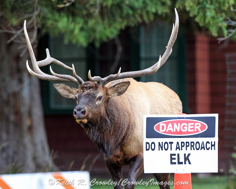 Sign warning visitors to avoid bull elk during the rut in Yellowstone National park.