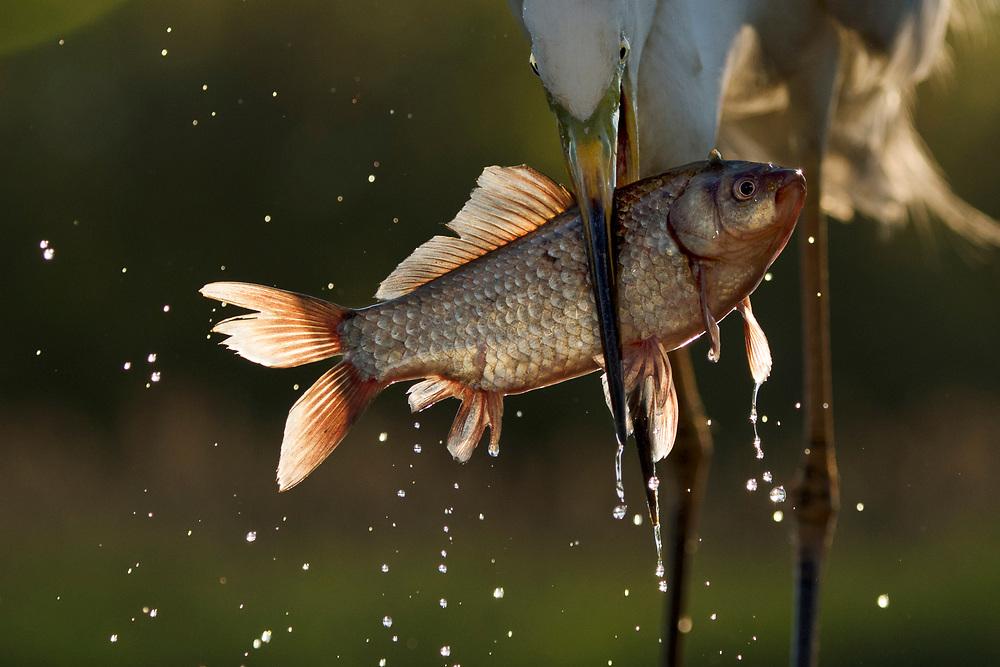Great white egret, Egretta alba or Ardea alba, catching cyprionid fish or carp sp. in fish farm, Pusztaszer Protected Landscape, Kiskunsagi, Hungary