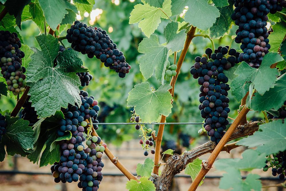 Oregon Wine Press- Anne_Amie_Harvest