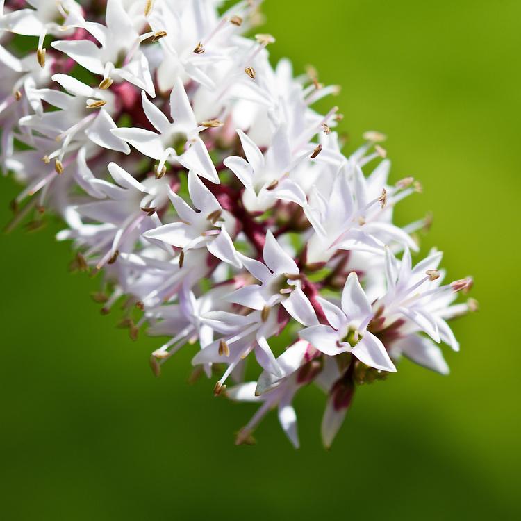 Flowering Hebe
