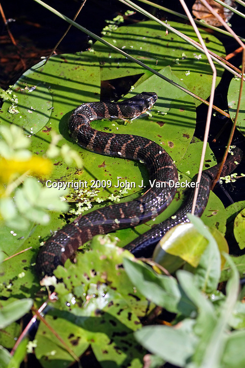 Common Brown Water Snake