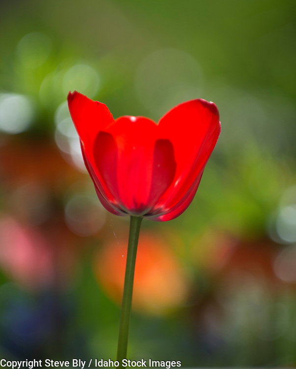 Flowers, Close-up of Red Tulip backlit  with a blurred floral background.USA