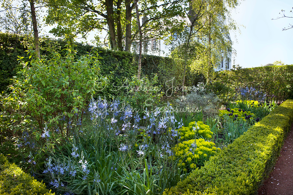 Camassia, Tulipa and Euphorbia in spring border at Gallery, Angus, Scotland