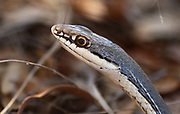 Sonoran whipsnake, Gardner Canyon, Santa Rita Mountains, Coronado National Forest, Sonoita, Arizona, USA.