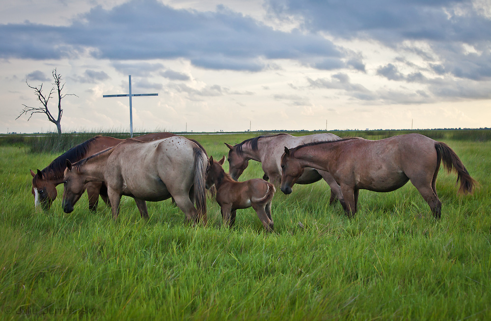 Horses graze along the shores of Bayou Point-au-Chien in front of the Point-au-Chiens Indians burial grounds.