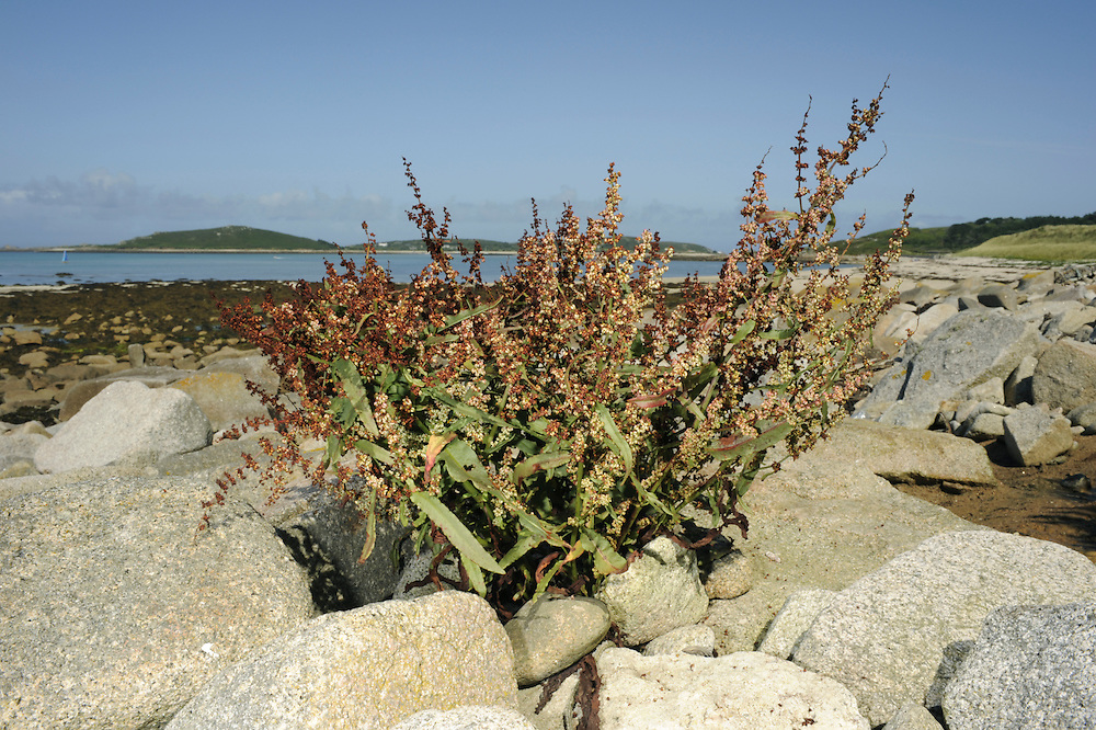 SHORE DOCK Rumex rupestris (Height to 1m) is similar to Clustered Dock but the whorled inflorescence is leafy only at the base (Jun-Jul). The leaves are greyish and blunt and the plant grows on rocky and stony coasts, mainly in S Cornwall; it is also found on the Scilly Isles.