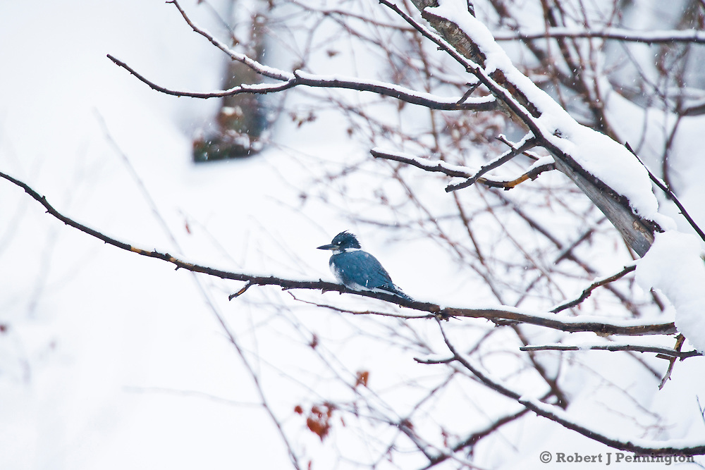 A blue, male Belted Kingfisher waits for a winter storm to pass near Jackson, WY.