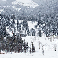 Lodgepole Pine (Pinus contorta) forest in winter, Lamar Valley, Yellowstone National Park, Wyoming