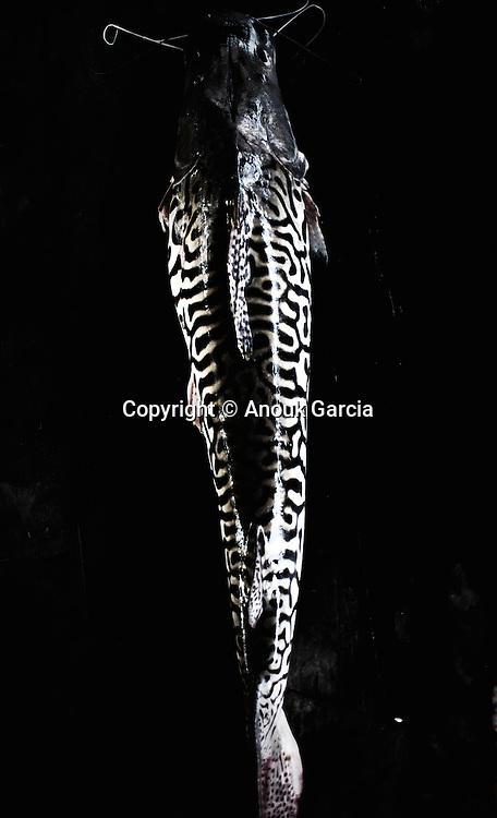 Suribim poisson des rivières amazoniennes qui peut atteindre 2 mètres. |  Surubim. Peixe de core. Pescaria Yawanawa. Rio Grégorio. Acre. Brasil.