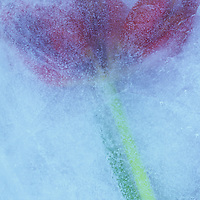 Deep red tulip on its green stem with leaf lying trapped within sheet of ice