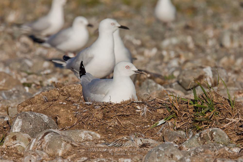 Endangered Black-billed Gull chick, newborn, New Zealand