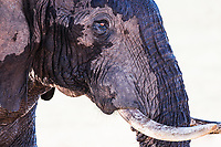 African elephant bull spalshed with water , Addo Elephant National Park, Eastern Cape, South Africa