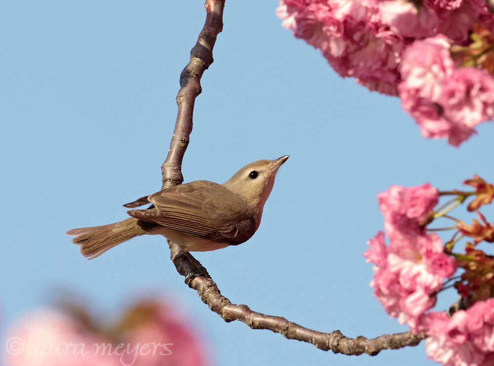 Warbling Vireo with cherry blossoms in background photographed at Green-wood Cemetery in Brooklyn, New York.