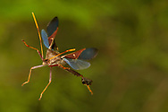 Leaf-footed Bug (Leptoglossus oppositus) flying<br /> United States: Alabama: Tuscaloosa Co.<br /> Tulip Tree Springs off Echola Rd.; Elrod<br /> 20-Jul-2016<br /> J.C. Abbott #2849