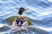 Red Breasted Merganser fishing at Wancheese on the Outer Banks of NC.