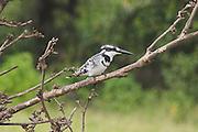 Kenya, lake naivasha, Kenya, Pied Kingfisher Ceryle Rudis