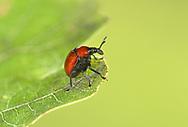 A weevil - Attelabus nitens