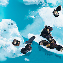 CONSERVATION PHOTOGRAPHER OF THE YEAR 2008 - part of the Nature's Best Photography Windland Smith Rice International Awards competition.<br /> <br /> Sea otters are resting on pieces of floating glacier ice that have calved from the Columbia Glacier. Columbia Bay, Alaska