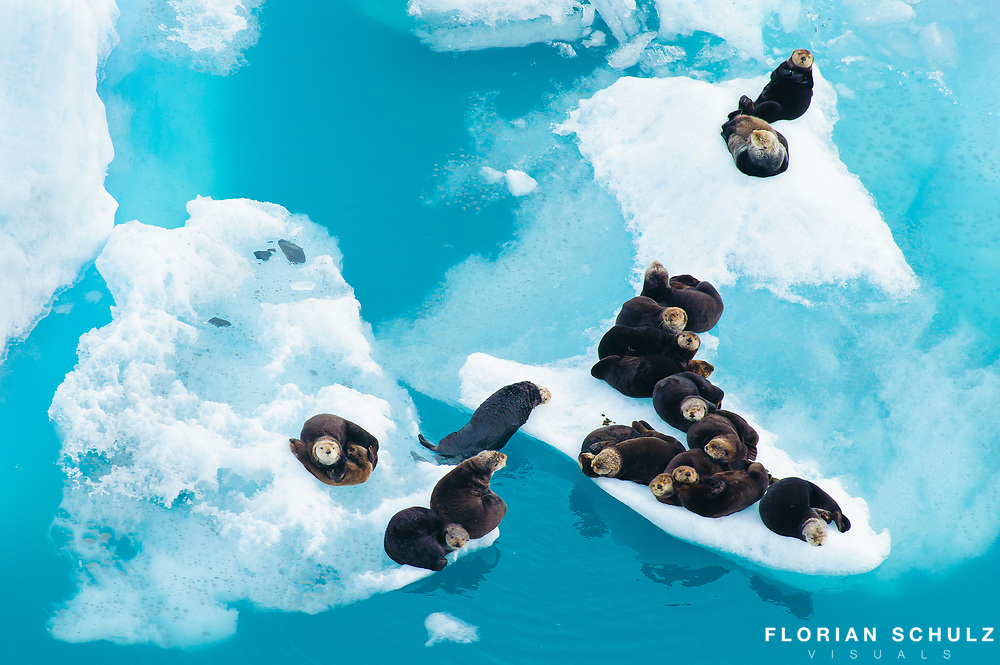 Florian Schulz sea otters resting on glacier florian schulz photography