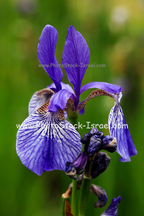 Blooming Purple Iris