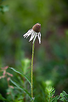 PRAIRIE CONEFLOWER IN BLOOM