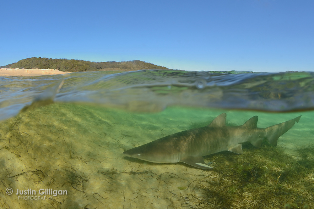 A grey nurse shark (Carcharias taurus) in a shallow lake, this species has not been photographed in this type of estuarine habitat before, photographed in Smith's Lake, New South Wales, Australia, Pacific Ocean.