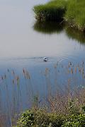 Egrets fishing along Connecticut River, at North Cove, Old Saybrook, CT